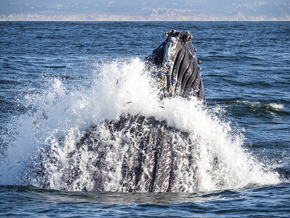 Humpback whale (Megaptera novaeangliae), lunge-feeding in Monterey Bay National Marine Sanctuary, California, United States of America, North America - 1112-4360