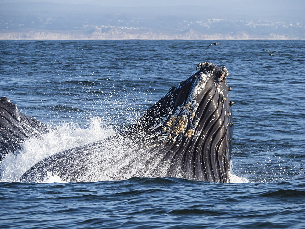 Humpback whale (Megaptera novaeangliae), lunge-feeding in Monterey Bay National Marine Sanctuary, California, United States of America, North America