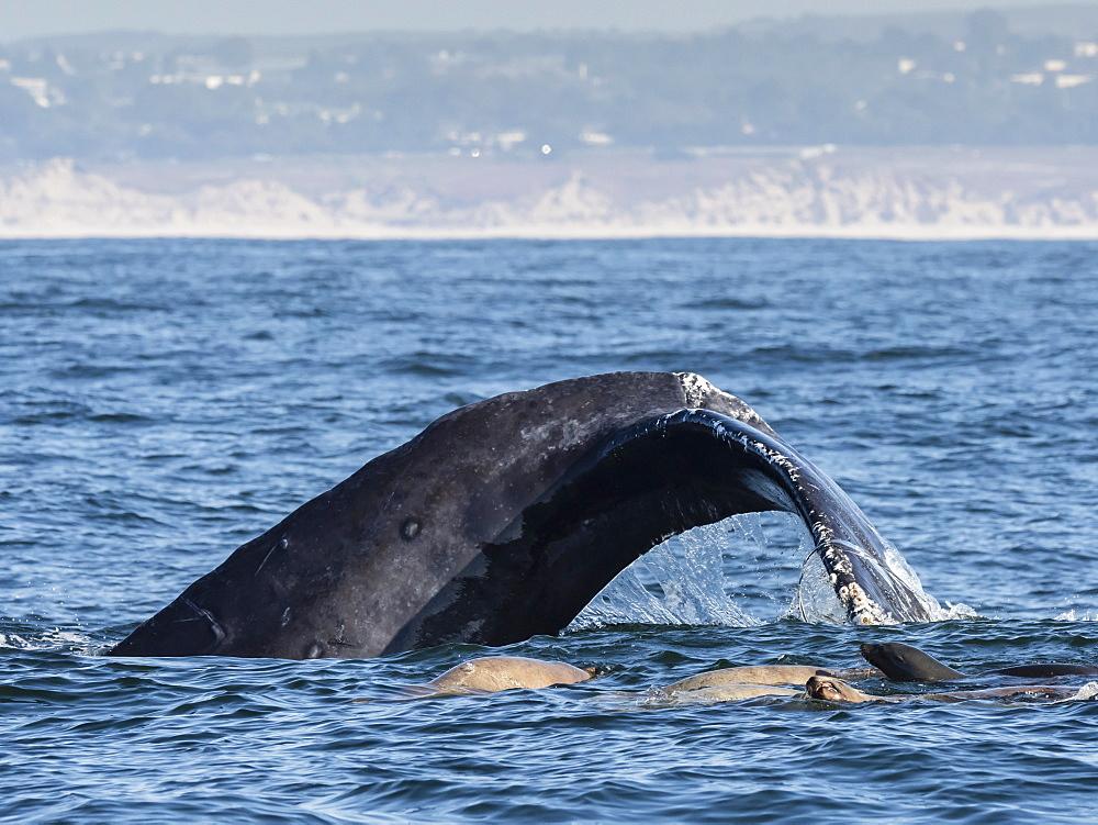 California sea lions (Zalophus californianus), with humpback whale, Monterey Bay National Marine Sanctuary, California, United States of America, North America