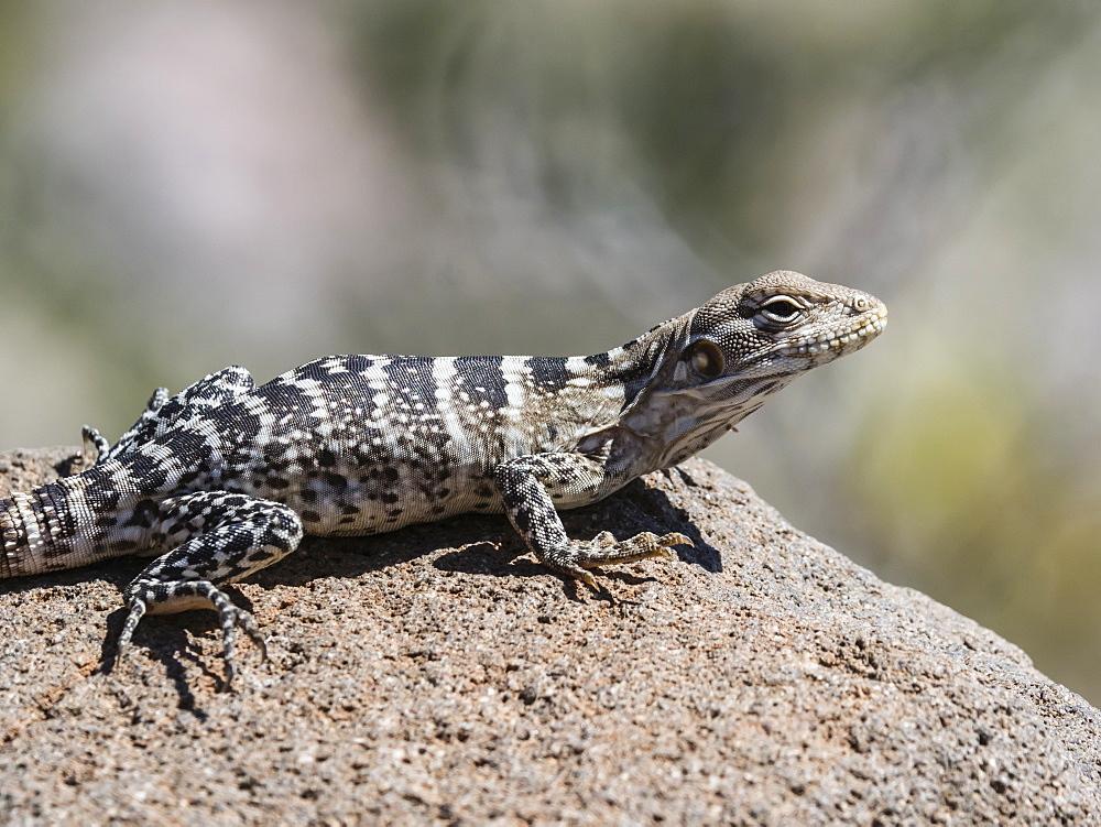 Juvenile San Esteban spiny-tailed iguanas (Ctenosaura conspicuosa), Isla San Esteban, Baja California, Mexico, North America