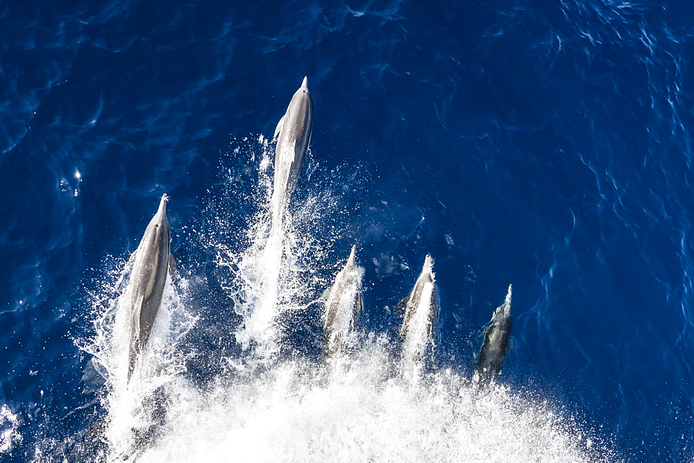 Long-beaked common dolphins (Delphinus capensis), bow-riding off Magdalena Island, Baja California Sur, Mexico, North America