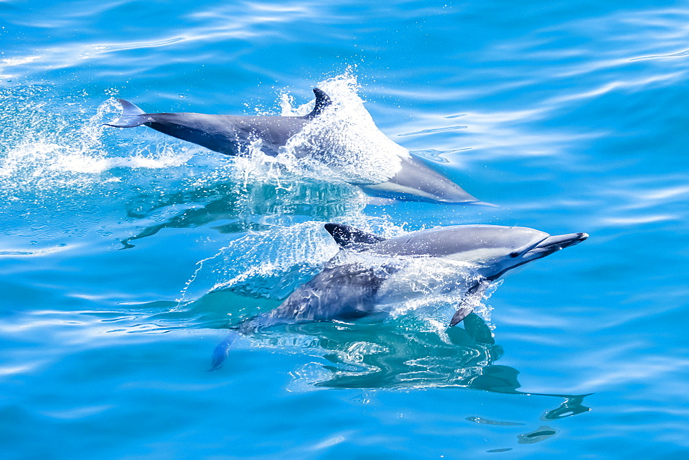 Long-beaked common dolphins (Delphinus capensis), off Isla San Marcos, Baja California Sur, Mexico, North America