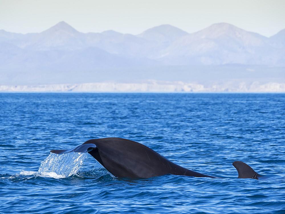 Short-finned pilot whale (Globicephala macrorhynchus), tail-lobbing off Isla San Marcos, Baja California Sur, Mexico, North America