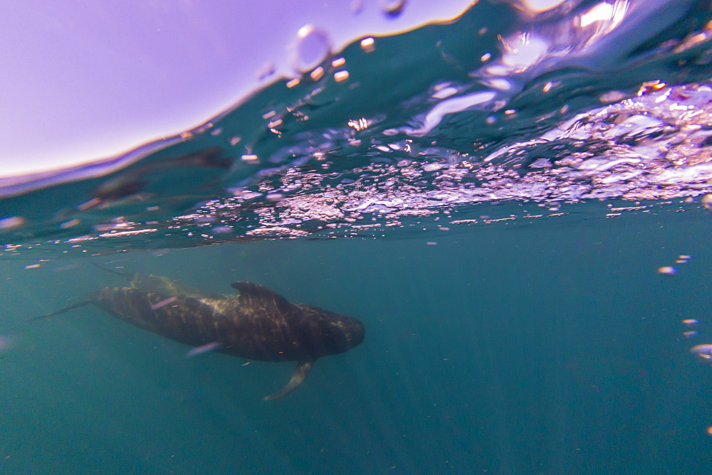 Short-finned pilot whale (Globicephala macrorhynchus), underwater off Isla San Marcos, Baja California Sur, Mexico, North America