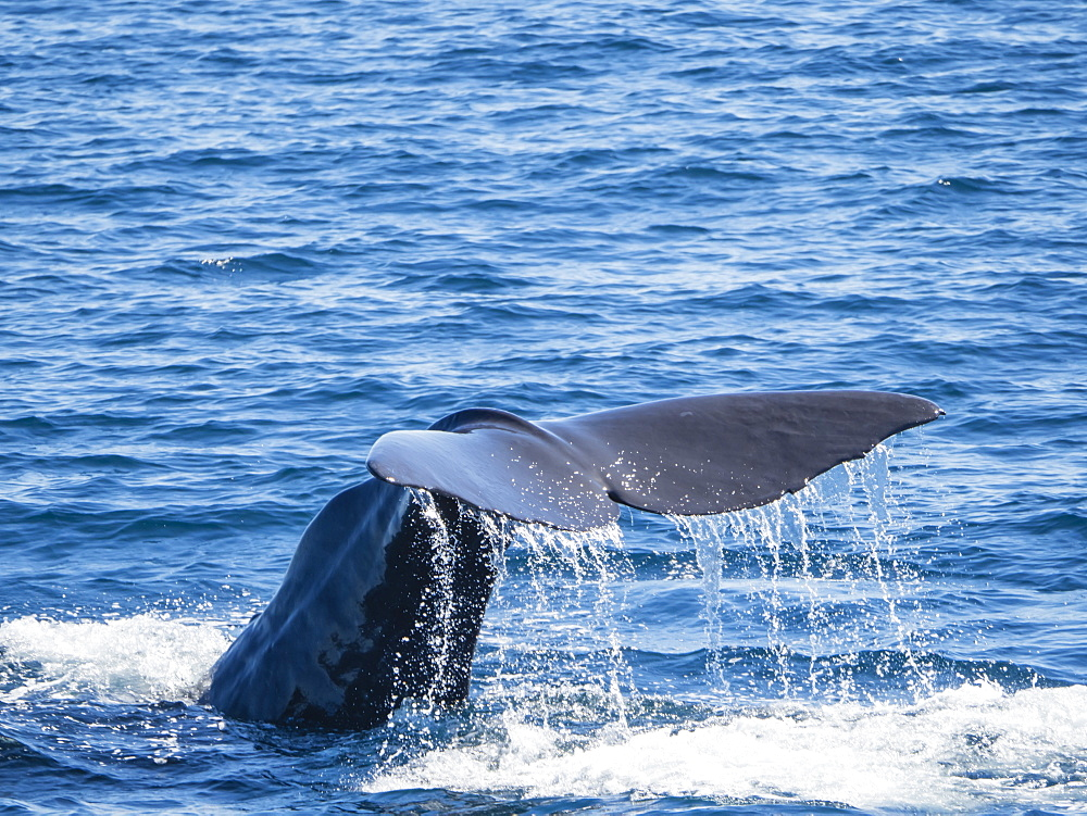 Adult sperm whale (Physeter macrocephalus) diving off Isla San Jose, Baja California Sur, Mexico, North America