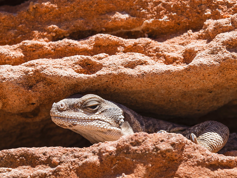 An adult common chuckwalla (Sauromalus ater), at Punta Colorado, Isla San Jose, Baja California Sur, Mexico, North America - 1112-4398