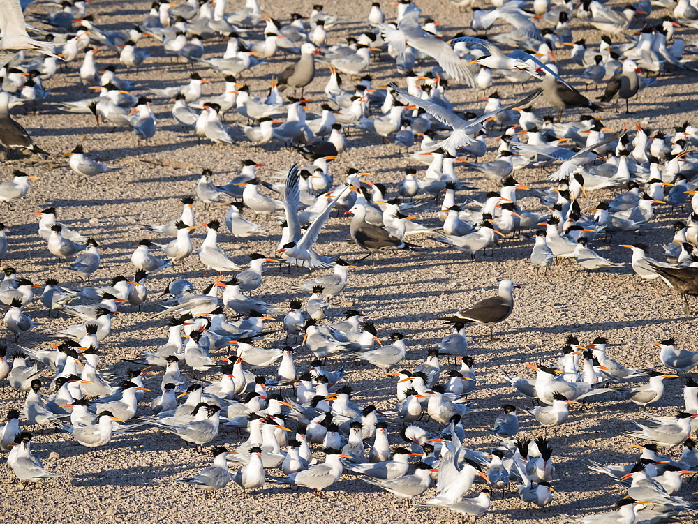 Hundreds of elegant terns (Thalasseus elegans), nesting on tiny Isla Rasa, Baja California, Mexico, North America