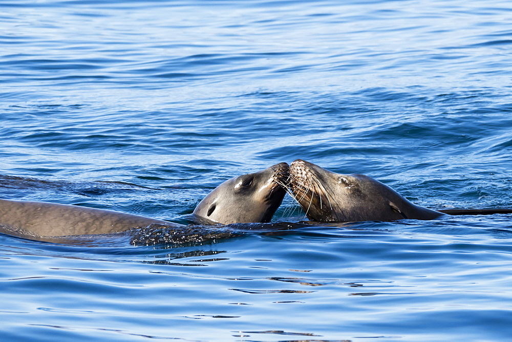 Playful California sea lions (Zalophus californianus), at Los Islotes, Baja California Sur, Mexico, North America