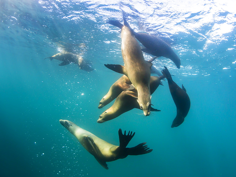 Curious California sea lions (Zalophus californianus), underwater at Los Islotes, Baja California Sur, Mexico, North America