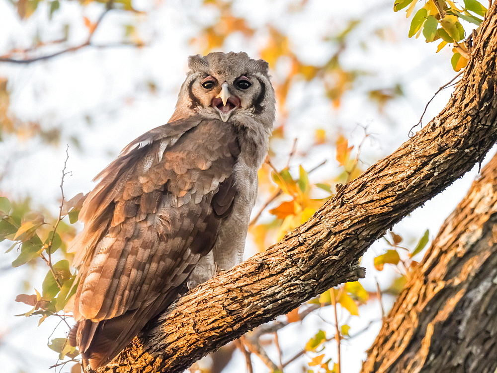 A young Verreaux's eagle-owl (Bubo lacteus), in Chobe National Park, Botswana, Africa