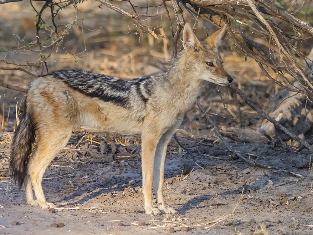 An adult black-backed jackal, Canis mesomelas, in the Okavango Delta, Botswana.