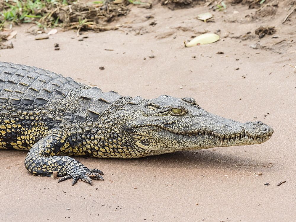 An adult Nile crocodile (Crocodylus niloticus) in Chobe National Park, Botswana, Africa