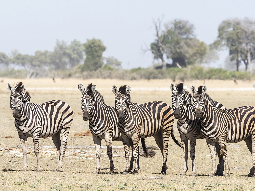Adult plains zebra, Equus quagga burchellii, in the Okavango Delta, Botswana.
