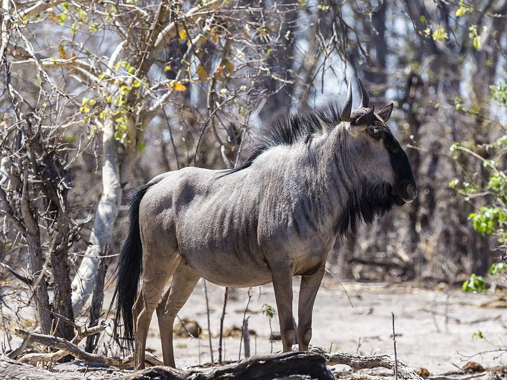 Adult blue wildebeest (Connochaetes taurinus taurinus), in Chobe National Park, Botswana, Africa
