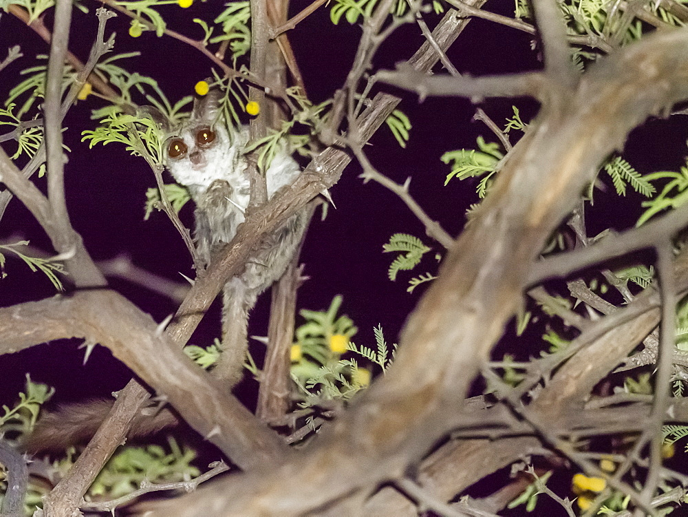Adult Lesser Bushbaby, Galago moholi, in a tree at night in the Okavango Delta, Botswana.