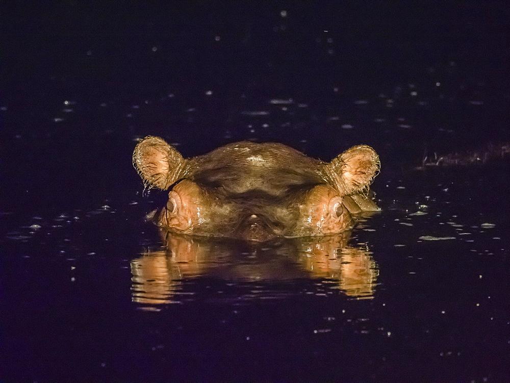 Adult hippopotamus (Hippopotamus amphibius) at night in the Okavango Delta, Botswana, Africa