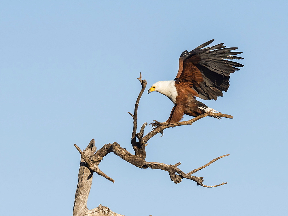 An adult African fish-eagle, Haliaeetus vocifer, landing in a tree in Chobe National Park, Botswana.