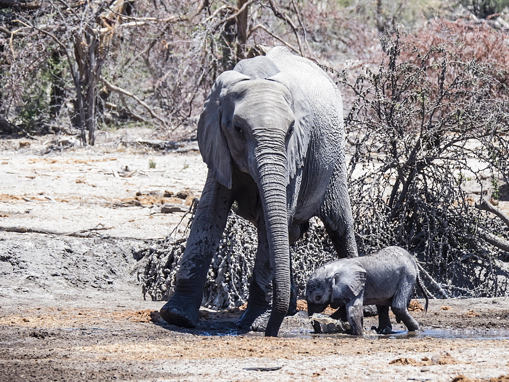 Mother and calf African elephant (Loxodonta africana), at a watering hole in the Okavango Delta, Botswana, Africa