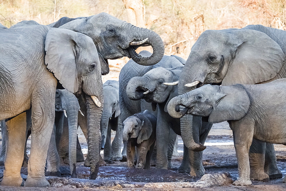 African elephant (Loxodonta africana), herd drinking at a watering hole in the Okavango Delta, Botswana, Africa
