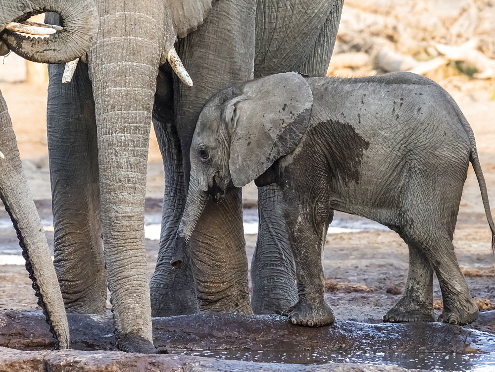 African elephant (Loxodonta africana), calf drinking at a watering hole in the Okavango Delta, Botswana, Africa