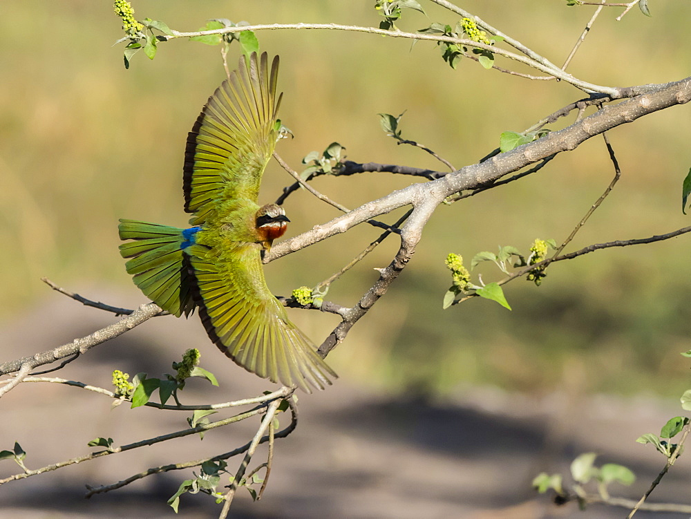 An adult white-fronted bee-eater (Merops bullockoides), taking flight in Chobe National Park, Botswana, Africa - 1112-4430