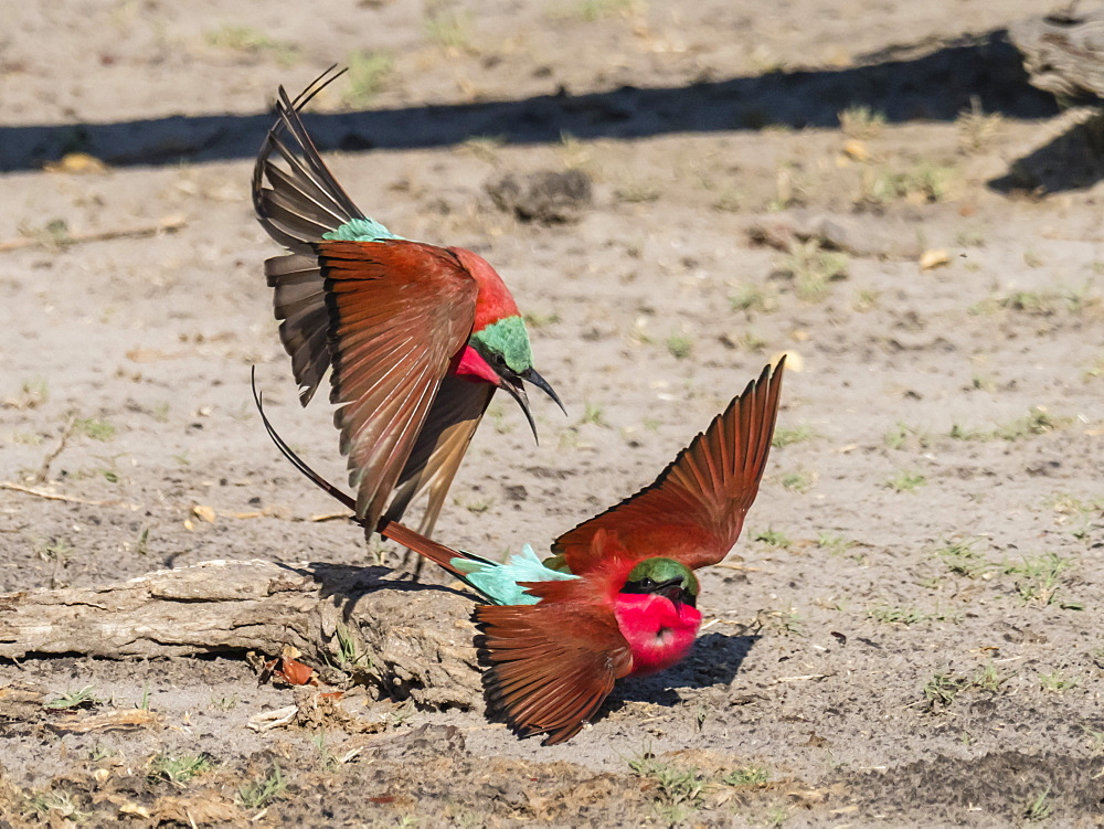 Adult southern carmine bee-eaters (Merops nubicoides), in confrontation in Chobe National Park, Botswana, Africa