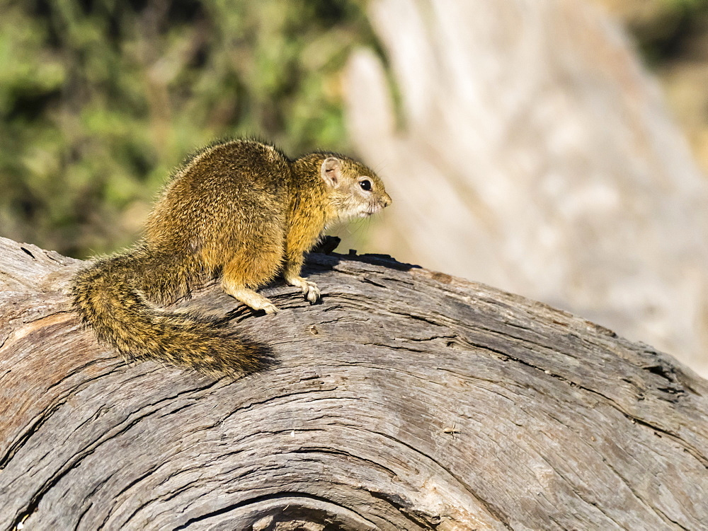 Adult tree squirrel (Paraxerus cepapi), in Chobe National Park, Botswana, Africa