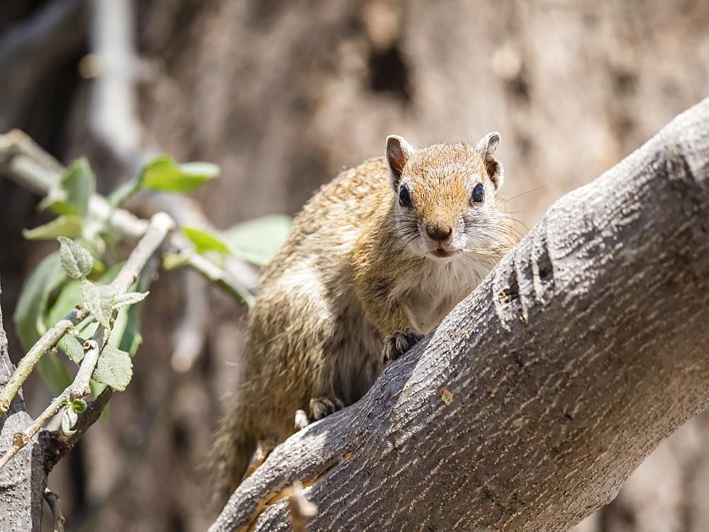 Adult tree squirrel (Paraxerus cepapi) in the Okavango Delta, Botswana, Africa