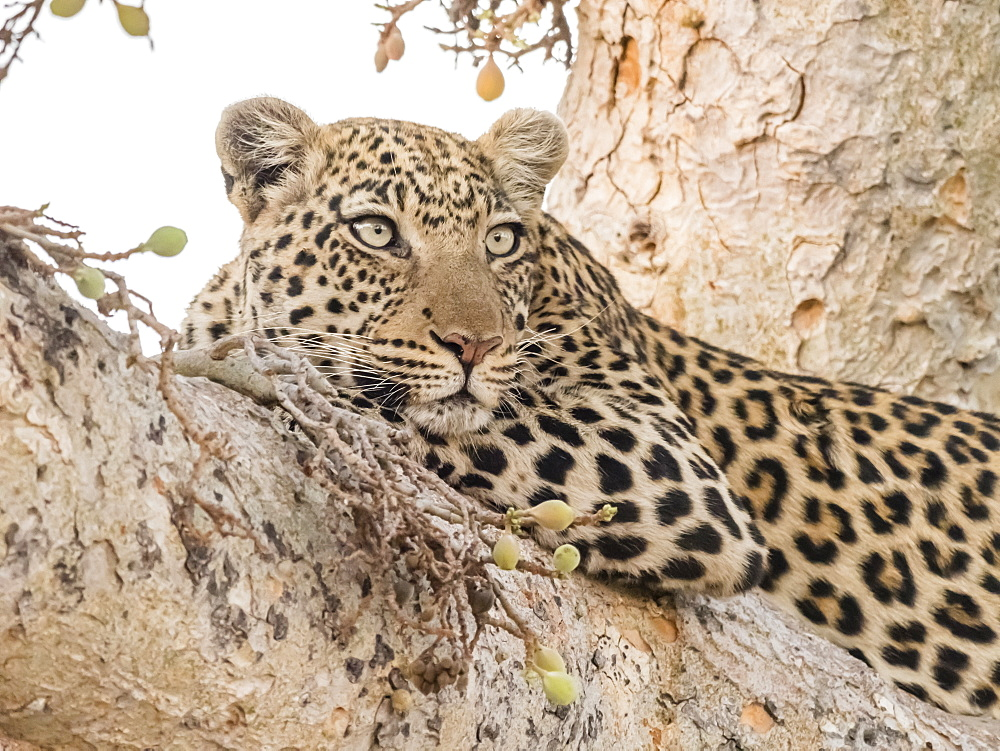 An adult leopard (Panthera pardus) resting in a tree in the Okavango Delta, Botswana, Africa