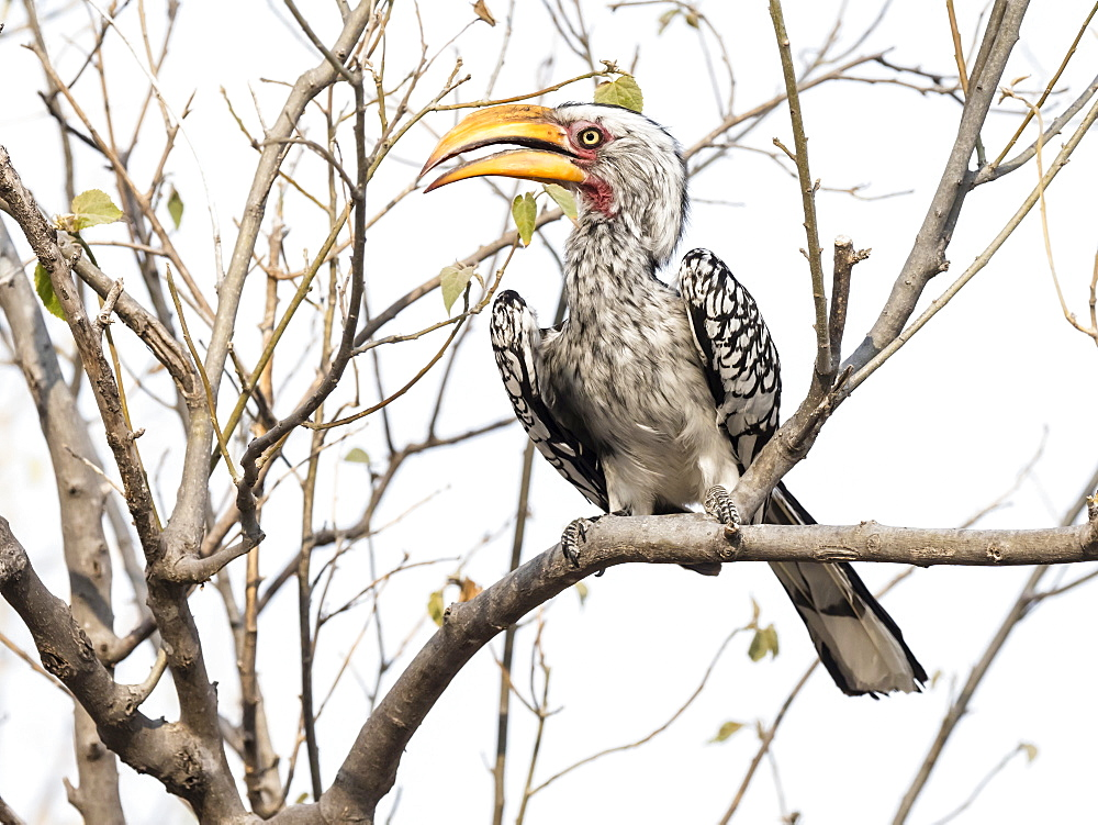 An adult southern yellow-billed hornbill, Tockus leucomelas, in the Okavango Delta, Botswana.