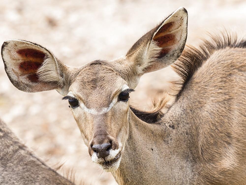 Female greater kudu, Tragelaphus strepsiceros, in Chobe National Park, Botswana.