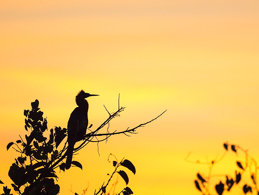 Adult anhinga (Anhinga anhinga) at sunset in Shark Valley, Everglades National Park, Florida, United States of America, North America