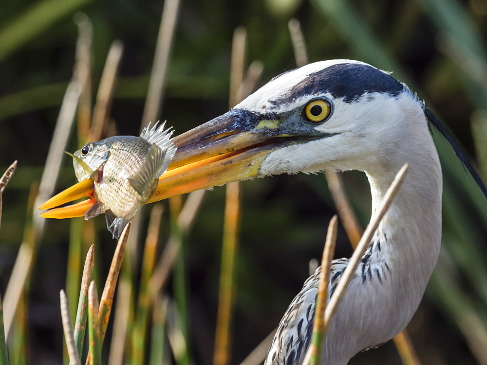 An adult great blue heron, Ardea herodias, spears a fish in Shark Valley, Everglades National Park, Florida, U.S.A.