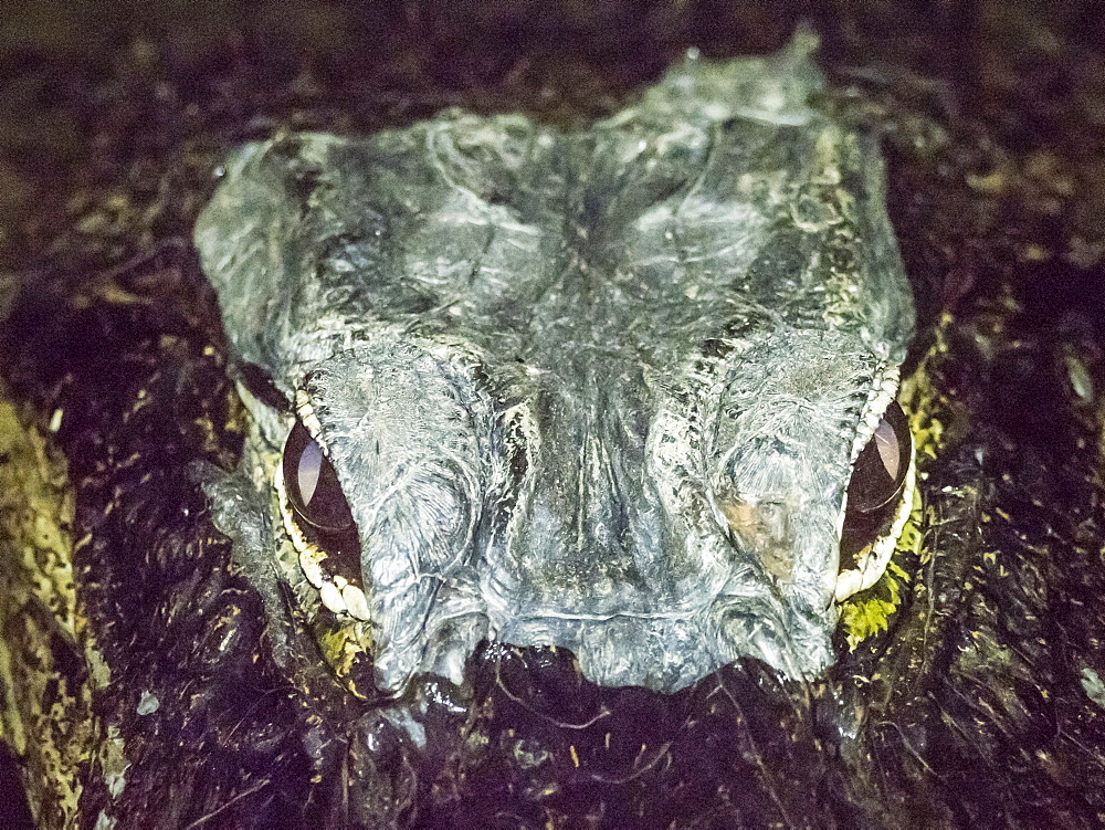 A wild American alligator, Alligator mississippiensis, at night in Shark Valley, Everglades National Park, Florida, USA.