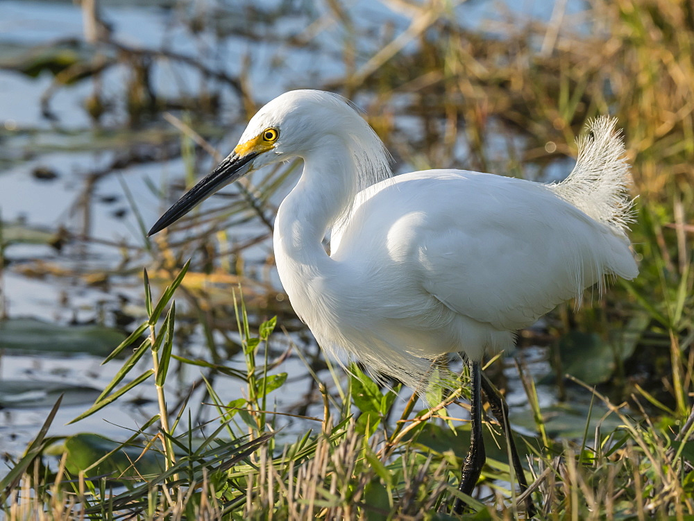 Adult snowy egret, Egretta thula, Shark Valley, Everglades National Park, Florida, U.S.A.