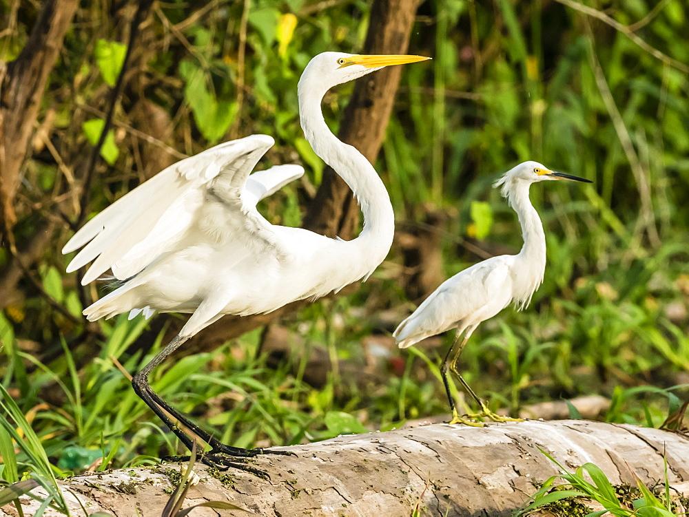 An adult great egret, Ardea alba, left, and snowy egret, Egretta thula, right, Río El Dorado, Amazon Basin, Peru.
