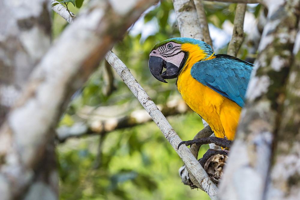 Adult blue-and-yellow macaw, Ara ararauna, Amazon National Park, Upper Amazon River Basin, Loreto, Peru