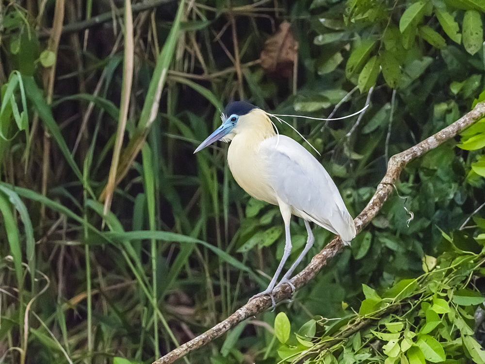 An adult capped heron (Pilherodius pileatus), Belluda Cano, Amazon Basin, Loreto, Peru, South America