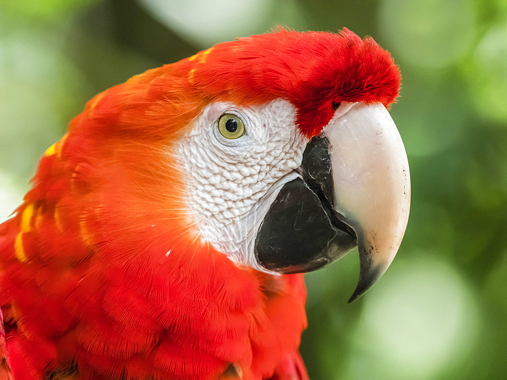 Scarlet macaw (Ara macao), Amazon Rescue Center, Iquitos, Peru, South America