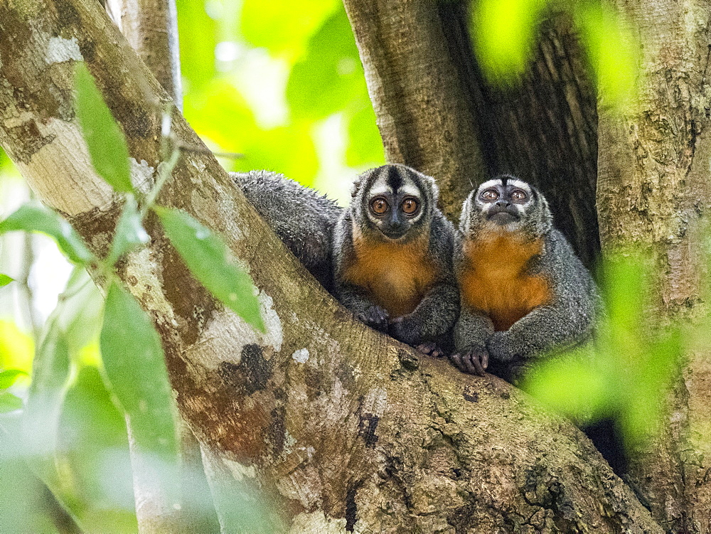 Adult Spix's night monkeys, Aotus vociferans, in Pahuachiro Creek, Amazon River Basin, Iquitos, Peru.