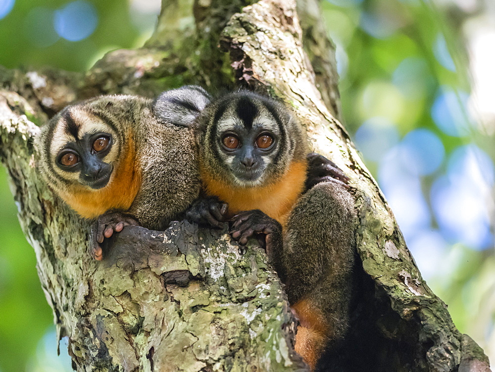 Adult Spix's night monkeys (Aotus vociferans), in Nauta Cano, Amazon River Basin, Iquitos, Peru, South America