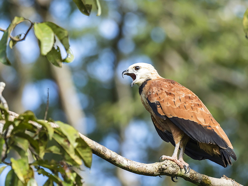 An adult black-collared hawk (Busarellus nigricollis), Nauta Cano, Pacaya-Samiria Reserve, Peru, South America