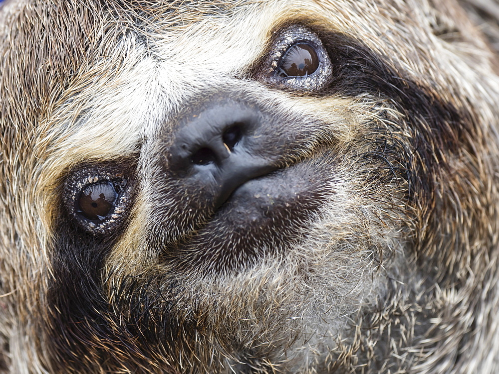 Baby brown-throated sloth (Bradypus variegatus), San Francisco, Amazon Basin, Loreto, Peru, South America