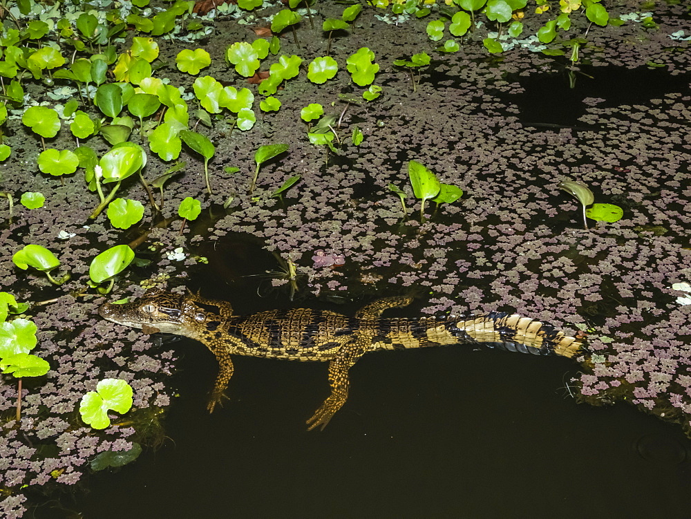 A young spectacled caiman (Caiman crocodilus) at night on Rio El Dorado, Ucayali River, Amazon Basin, Loreto, Peru, South America