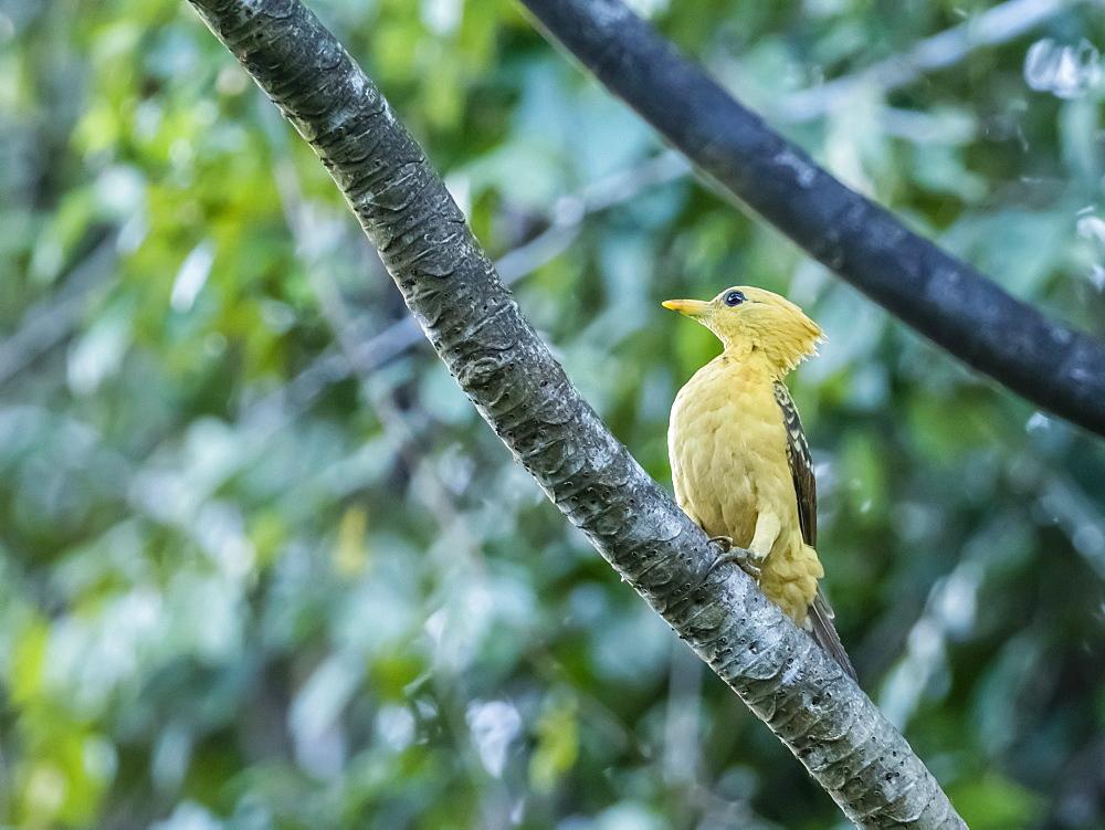An adult female cream-colored woodpecker (Celeus flavus), Lake Clavero, Amazon Basin, Loreto, Peru, South America