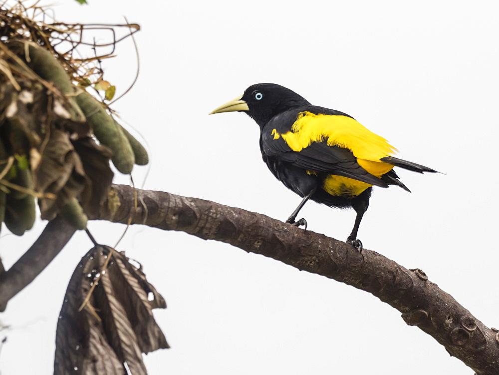 Adult yellow-rumped cacique, Cacicus cela, at nest site on Belluda Caño, Amazon Basin, Loreto, Peru.