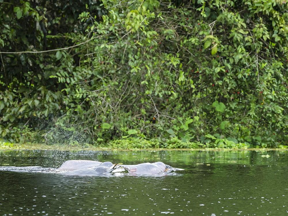 Adult Amazon pink river dolphins, Inia geoffrensis,Yanayacu Lake, Pacaya-Samiria Reserve, Loreto, Peru.