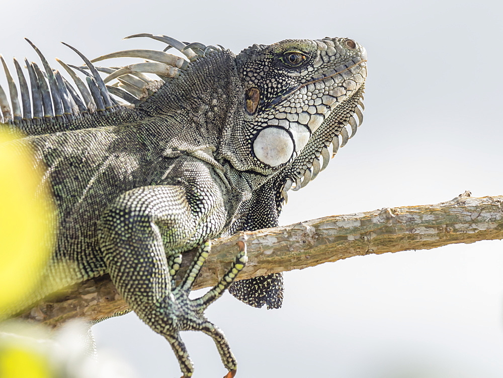 An adult Green Iguana (Iguana iguana), basking in the sun on the Yanayacu River, Amazon Basin, Loreto, Peru, South America