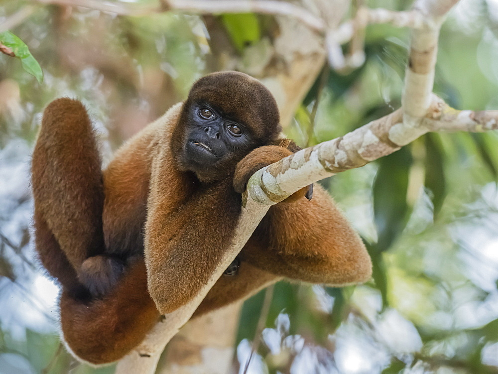 An adult common woolly monkey (Lagothrix lagothricha), in the trees along the Yarapa River, Nauta, Peru, South America