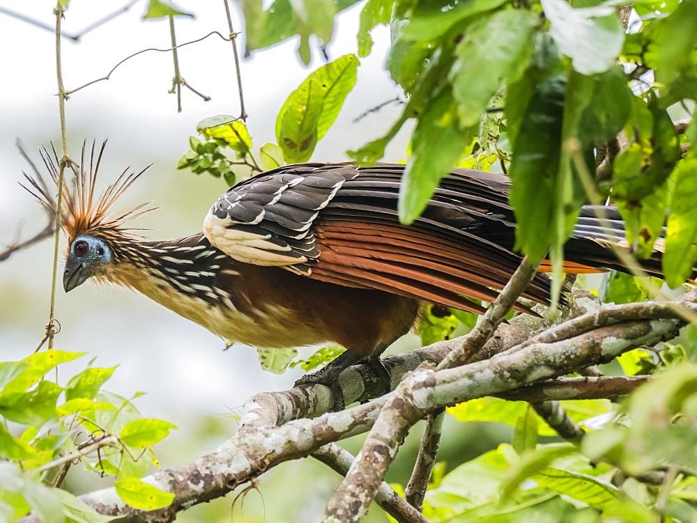 An adult hoatzin (Opisthocomus hoazin), Pacaya River, Pacaya Samiria Reserve, Amazon Basin, Loreto, Peru, South America